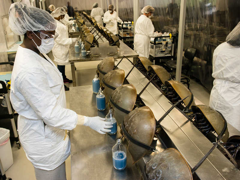 Horseshoe crabs are being exploited for their life-saving